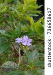 Small photo of Achnatherum Nevadense Flowers