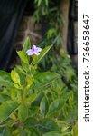 Small photo of Achnatherum Nevadense Flower