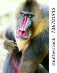 Small photo of Mandrill Alpha Male Monkey in Melaka Zoo, Malaysia