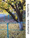Small photo of Autumn apricot tree and golden fallen leaves at a rural dooryard