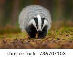 badger running in forest ... | Shutterstock . vector #736707103