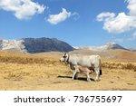 gray cow and calf suckling | Shutterstock . vector #736755697