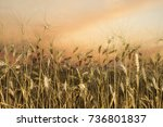 backdrop of ripening ears of... | Shutterstock . vector #736801837