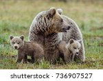 she bear and cubs of brown bear ... | Shutterstock . vector #736907527