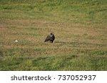 juvenile bald eagle eating prey ... | Shutterstock . vector #737052937