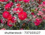 close up of beautiful red roses ... | Shutterstock . vector #737103127