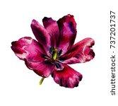 watercolor hand drawn tulip... | Shutterstock . vector #737201737