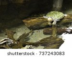 close up of alligator snapping... | Shutterstock . vector #737243083
