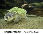 close up of alligator snapping... | Shutterstock . vector #737243563
