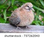 juvenile bronze wing pigeon ... | Shutterstock . vector #737262043