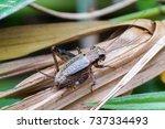 Small photo of House cricket (Acheta domestica)