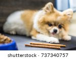 focus on snack. pomeranian dog... | Shutterstock . vector #737340757