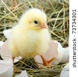 A Little Chicken Is In A Nest.