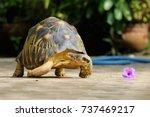portrait of radiated tortoise... | Shutterstock . vector #737469217