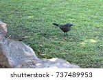 Small photo of Single apostlebird on grass in Queensland, Australia. These birds are usually found in groups.