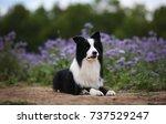 border collie | Shutterstock . vector #737529247