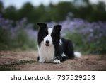 border collie | Shutterstock . vector #737529253