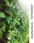 green leaf on sunshine light | Shutterstock . vector #737544547