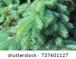 blue spruce  green spruce ... | Shutterstock . vector #737601127