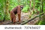 bornean orangutan in the wild... | Shutterstock . vector #737656027