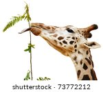 giraffe with one's tongue... | Shutterstock . vector #73772212