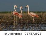 flamingos  patagonia argentina   Shutterstock . vector #737873923