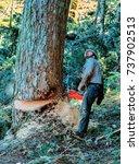 Small photo of Sweet Home, Oregon, Oregon - 10/9/1998: A logger felling an old growth Douglas Fir tree.