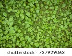 Small photo of Asiatic pennyworth Asiatic Leaves Background Use Nature Background Asiatic Leaves Herb Centennial Asiatics Used as the elixir Has inhibited or slowed the growth of cancer cells