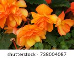 Begonia Tuberhybrida Many...