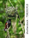 Small photo of Chestnut-and-black Weaver