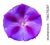Violet Morning Glory Isolated...
