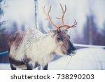 Group Herd Of Caribou Reindeer...