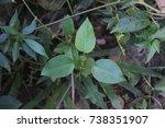 gurmar medicinal plant for
