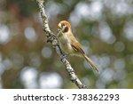 spot breasted parrotbill...   Shutterstock . vector #738362293