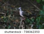 spotted dove spilopelia...   Shutterstock . vector #738362353
