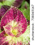 Small photo of Beautiful pattern and texture of pink Coleus leave