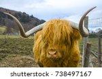 A Huge Orange Haired Highland...