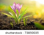 Purple Crocus Flower On Natura...