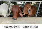 buffalo or cows kept in cages... | Shutterstock . vector #738511303