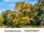 Small photo of Large bigleaf maple (Acer macrophyllum) in autumn at Billy Frank Jr. Nisqually National Wildlife Refuge.