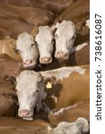Small photo of white faced cattle, cattle are sold every week at auctions all over the country to buyers from all over the Nation.