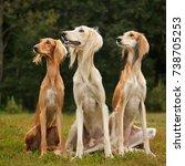 three saluki sighthound... | Shutterstock . vector #738705253