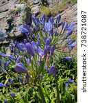 Small photo of Close up of the African Lily (Agapanthus)