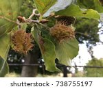 Horse Chestnut Tree  Throwley ...