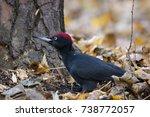 Black Woodpecker Male Sitting...