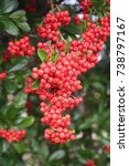 Firethorn.pyracantha Bush With...