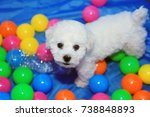 Stock photo bichon frise week old pure breed female bichon frise puppy dog playing in colorful ball pit or 738848893