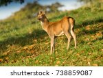 Young Red Deer Fawn In Autumn