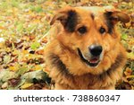 sheepdog closeup lies on autumn ... | Shutterstock . vector #738860347