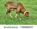 ram grazing on the slope of a... | Shutterstock . vector #738888007